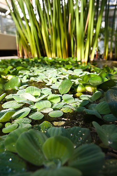 Water lettuce inside the Botany Greenhouse