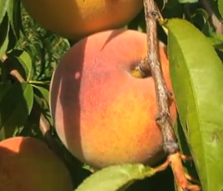 Sustainable biofuel from waste peaches