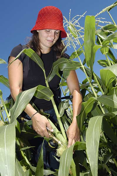 Agronomy graduate student Camilla Vargas demonstrates how to innoculate corn wit