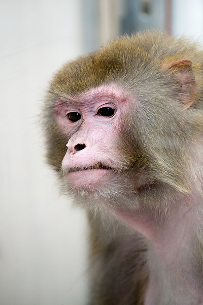 Rhesus monkey Owen, 29 is the oldest surviving subject in diet and aging study