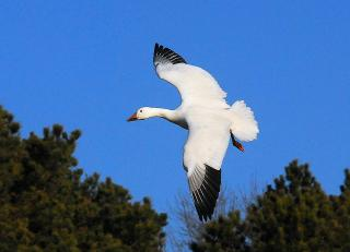 White goose with black wing tips in flight over trees.
